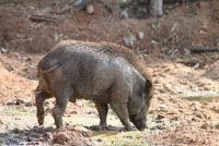 12638977-un-maiale-selvatico-a-rilassarsi-giocando-fango